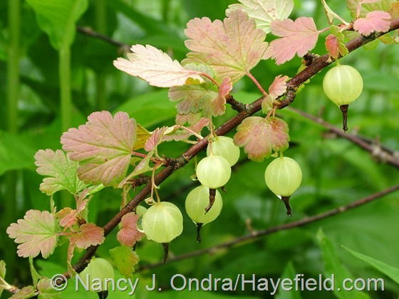 Ribes uva-crispa 'Pixwell' at Hayefield.com