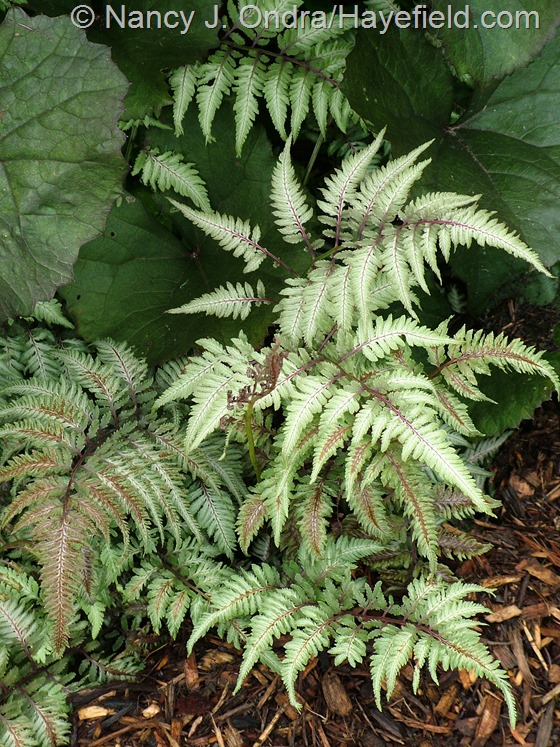 Athyrium niponicum var. pictum with Ligularia dentata 'Britt-Marie Crawford' at Hayefield.com