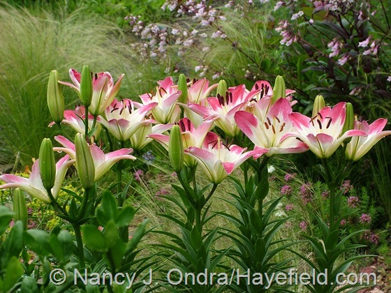 Lilium 'Lollipop' at Hayefield.com