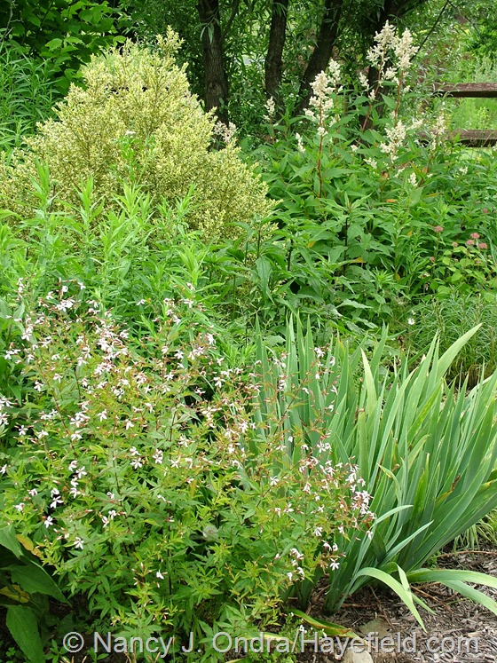 Gillenia stipulata with Buxus sempervirens 'Elegantissima' and Persicaria polymorpha at Hayefield.com
