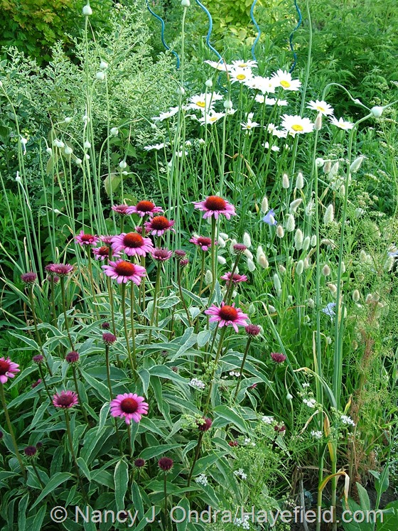 Leucanthemum 'Becky', Lagurus ovatus, and Allium sativum with Echinacea purpurea 'Prairie Frost' at Hayefield.com