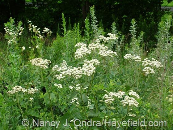 Parthenium integrifolium at Hayefield.com