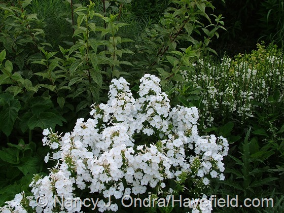 Phlox 'Miss Lingard' with Forsythia viridissima var. koreana 'Kumson' and Physostegia virginiana 'Miss Manners' at Hayefield.com