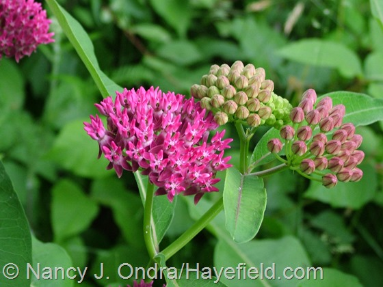 Asclepias purpurascens at Hayefield.com