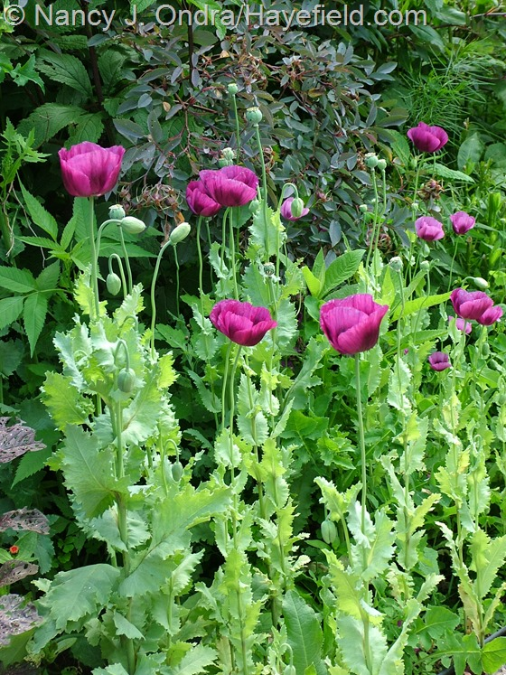 Papaver 'Lauren's Grape' at Hayefield.com