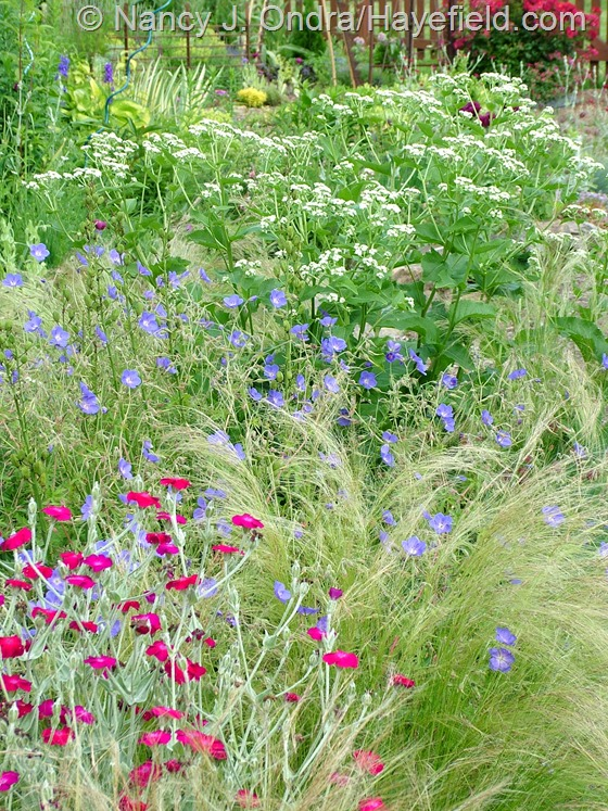 Lychnis coronaria with Stipa tenuissima, Geranium 'Brookside', and Parthenium integrifolium at Hayefield.com