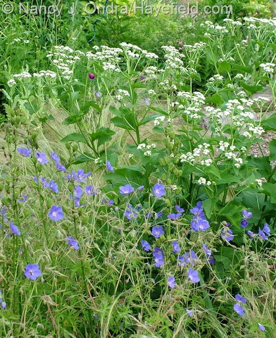 Parthenium integrifolium and Geranium 'Brookside' at Hayefield.com