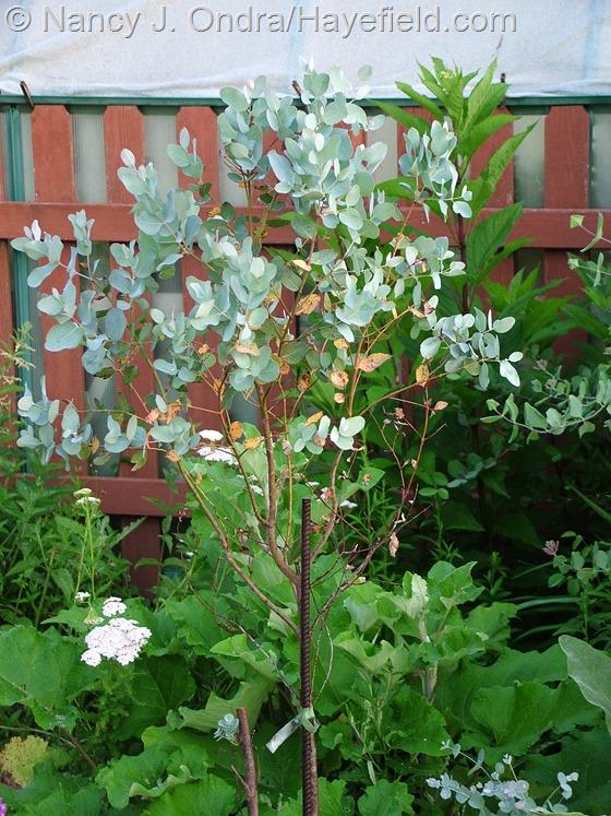 Euphorbia gunnii 'Silver Drop' at Hayefield.com