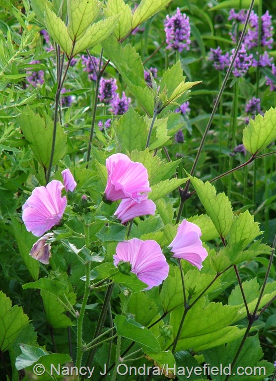Lavatera trimestris with Stachys officinalis at Hayefield.com