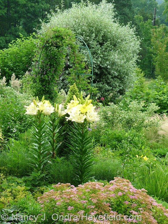 Lilium 'Freya' in side garden at Hayefield.com