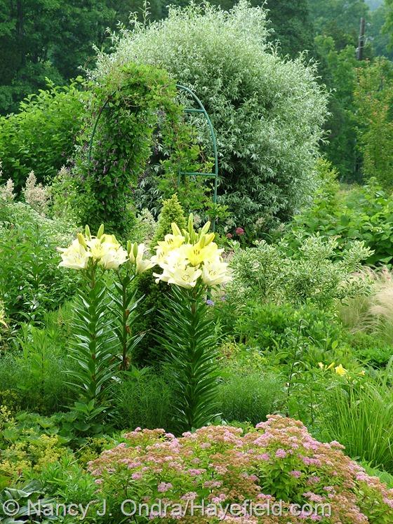 Lilium 'Freya' in side garden at Hayefield.com