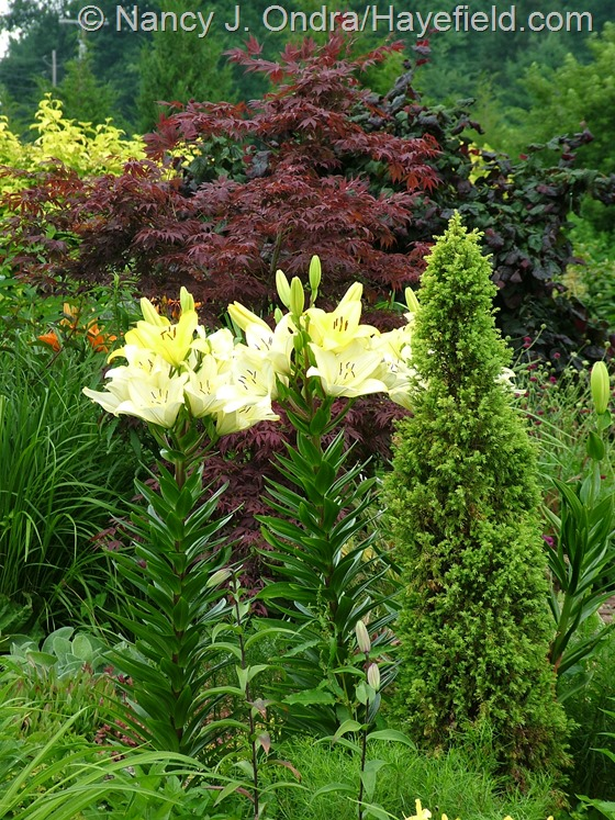 Lilium 'Freya' with Juniperus communis 'Gold Cone' at Hayefield.com