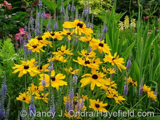 Rudbeckia hirta with Veronica grandis at Hayefield.com