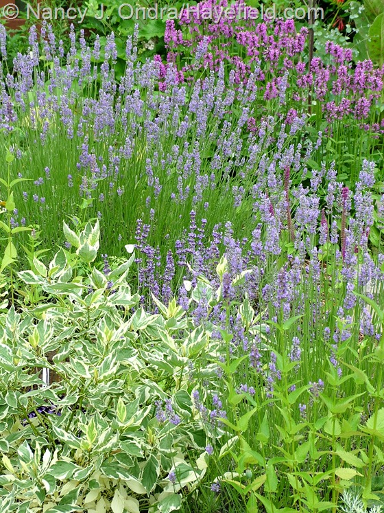 Cornus alba 'Crimzam' [Crème de Mint] with Lavandula x intermedia 'Provence' and Stachys officinalis 'Hummelo' at Hayefield.com
