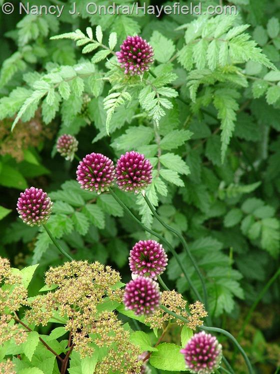 Allium sphaerocephalon with Rubus thibetanus at Hayefield.com