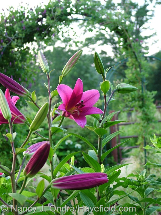 Lilium 'Purple Prince' at Hayefield.com
