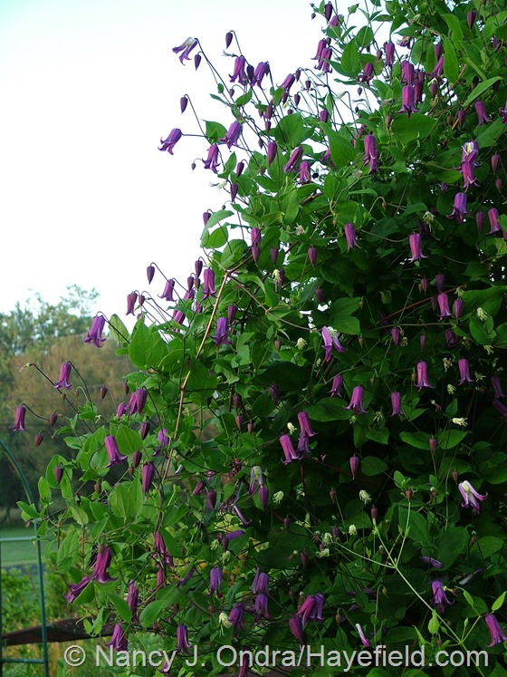 Clematis sp. at Hayefield.com