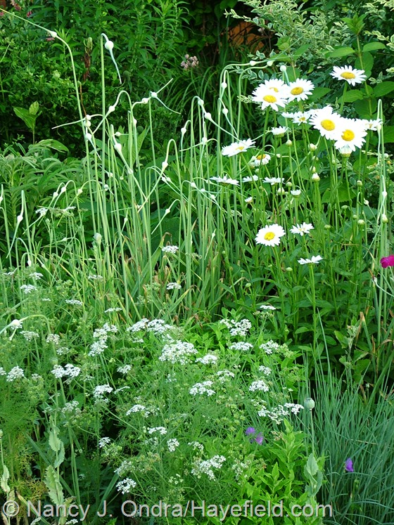 Leucanthemum 'Becky' with Allium sativum and Coriandrum sativum at Hayefield.com