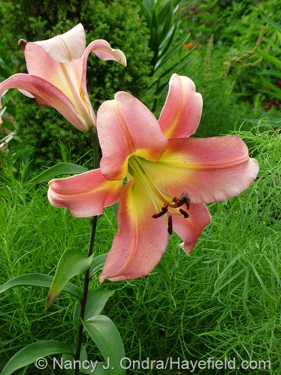 Lilium 'Satisfaction' at Hayefield.com