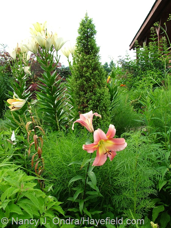 Lilium 'Satisfaction' in front of 'Freya' at Hayefield.com