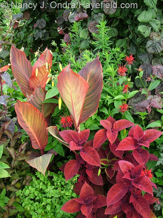 Coleus 'Big Red Judy' with Canna 'Phaison' [Tropicanna] and Monarda 'Jacob Cline' at Hayefield.com