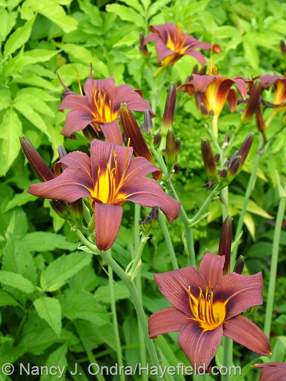 Hemerocallis 'Milk Chocolate' at Hayefield.com