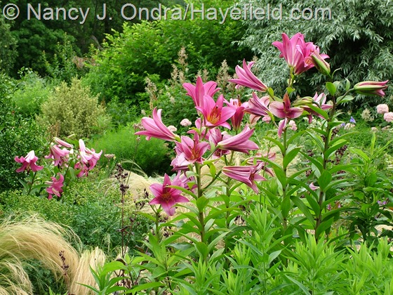 Lilium 'Purple Prince' and 'Robina' at Hayefield.com