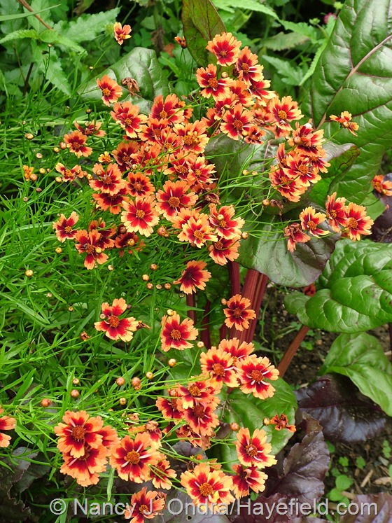 Coreopsis 'Desert Coral' with Swiss chard 'Bright Lights' at Hayefield.com