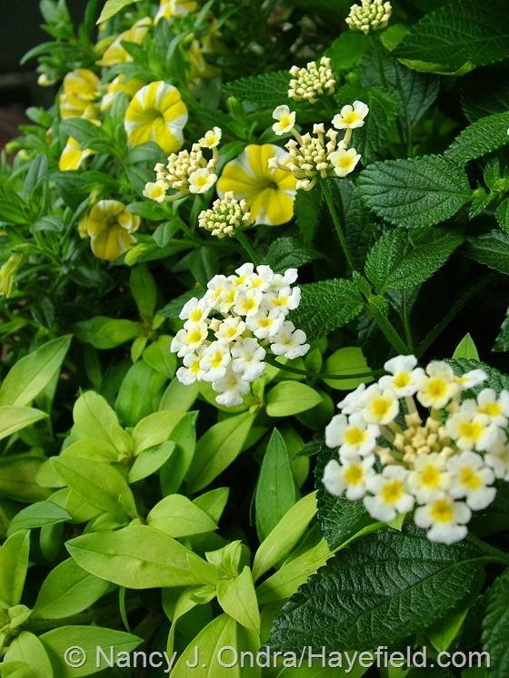 Lantana 'Bandana White' with Calibrachoa 'Lemon Slice' and Lysimachia 'Sundew Springs' at Hayefield.com