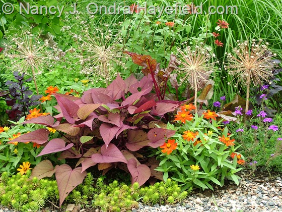 Ipomoea batatas 'Sweet Georgia Heart Red' with Sedum rupestre 'Angelina', Zinnia 'Zahara Scarlet', Verbena 'Imagination', Allium christophii seedheads, and Zinnia tenuifolia 'Red Spider' at Hayefield.com