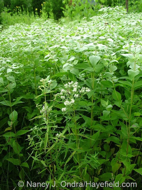Pycnanthemum sp. (virginianum or torrei?) at Hayefield.com