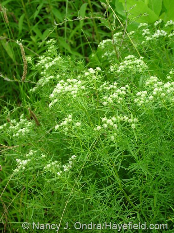 Pycnanthemum tenuifolium at Hayefield.com