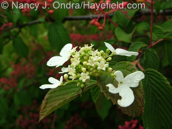 Viburnum plicatum in flower at Hayefield.com