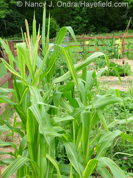 Zea mays (corn) 'Old Gold' at Hayefield.com
