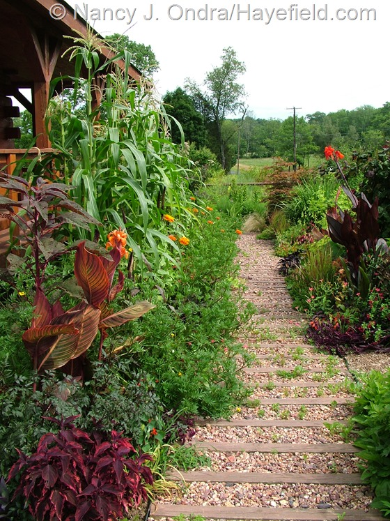Front path with 'Glass Gem' corn at Hayefield.com