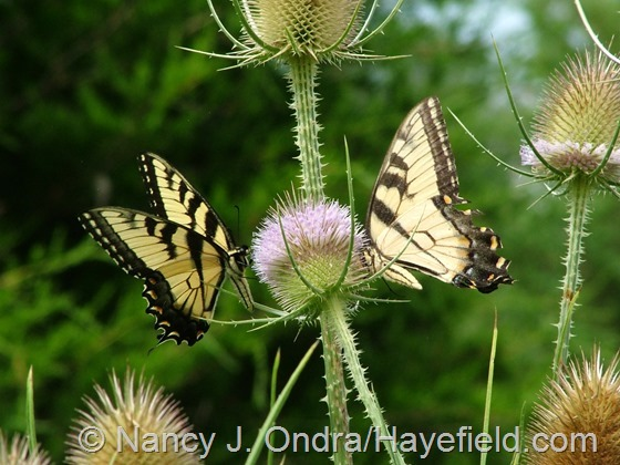 Eastern tiger swallowtail on Dipsacus fullonum at Hayefield.com