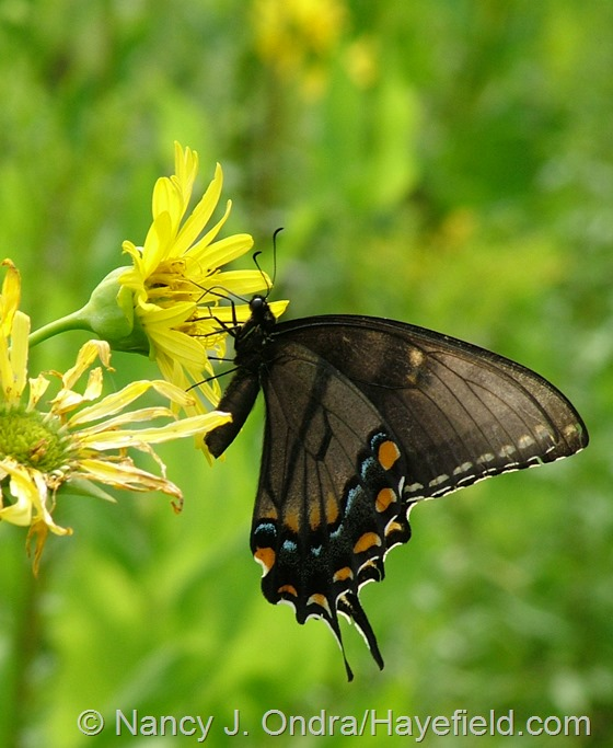 Swallowtail on Silphium perfoliatum in meadow at Hayefield.com