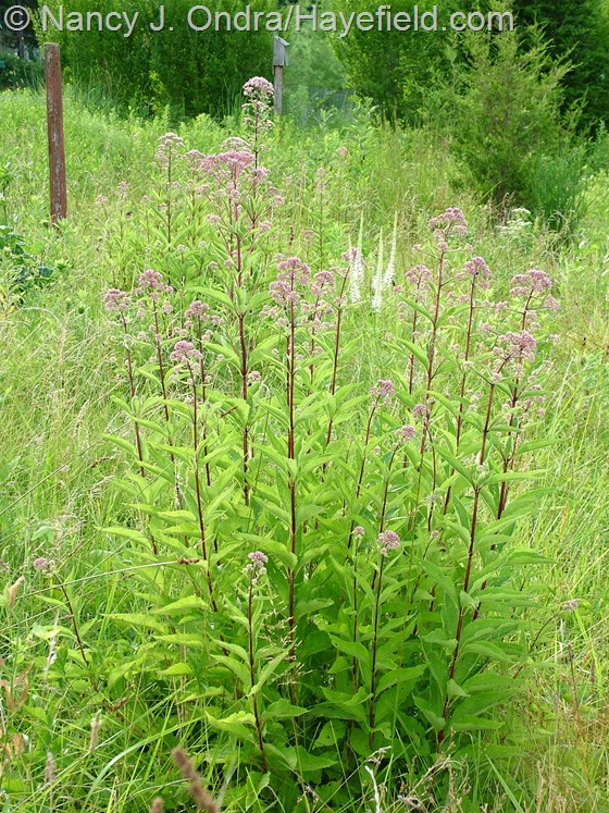 Eutrochium (Eupatorium) purpureum with Veronicastrum virginicum in meadow at Hayefield.com