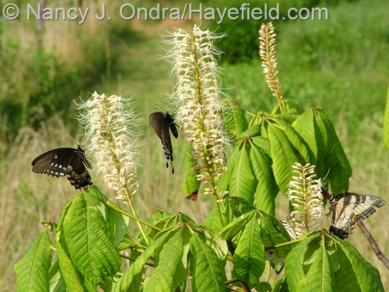 Swallowtails on Aesculus parviflora at Hayefield.com