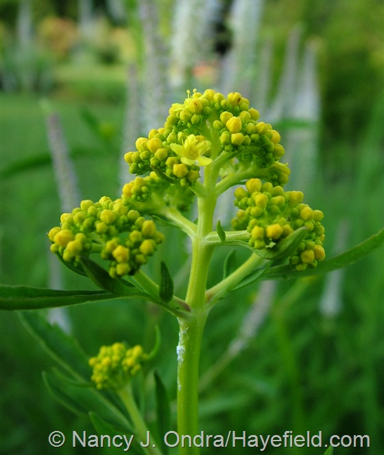 Patrinia scabiosifolia in bud at Hayefield.com