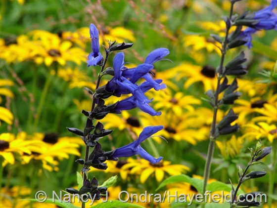 Salvia guaranitica 'Black and Blue' at Hayefield.com