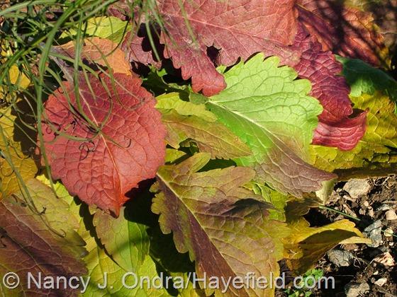 Patrinia scabiosifolia fall color at Hayefield.com