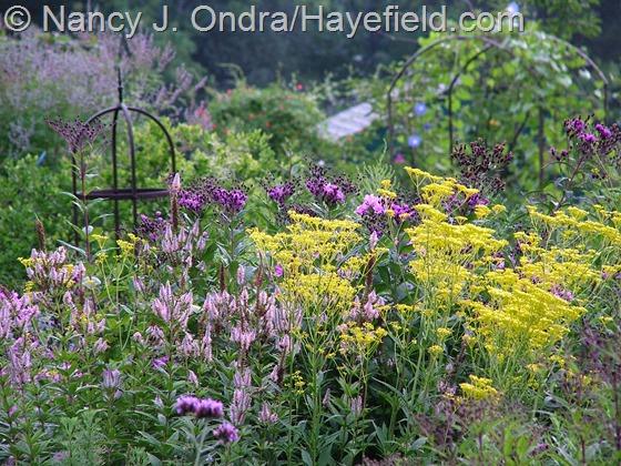 Patrinia scabiosifolia with Veronicastrum virginicum 'Erica' and Vernonia noveboracensis at Hayefield.com