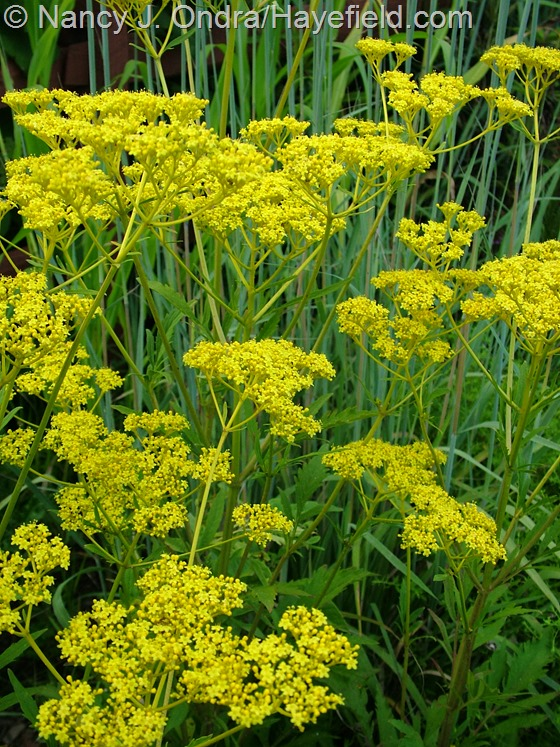 Patrinia scabiosifolia at Hayefield.com