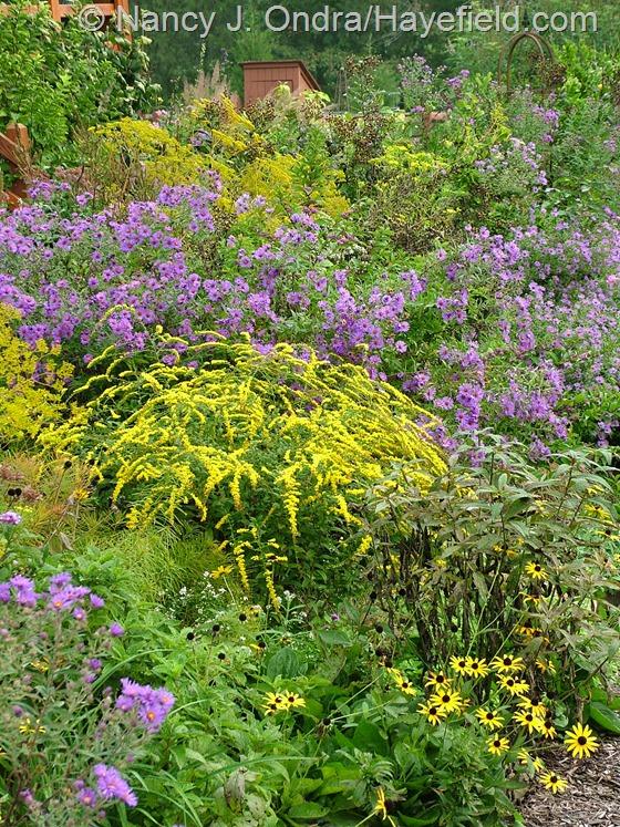 Solidago rugosa 'Fireworks' with Rudbeckia fulgida var. fulgida, Symphyotrichum novae-angliae 'Hella Lacy', and Patrinia scabiosifolia at Hayefield.com