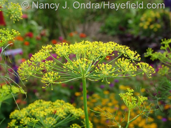 Anethum graveolens (dill) at Hayefield.com