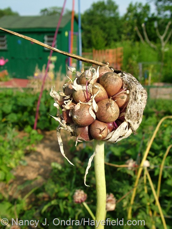 Rocambole garlic bulbils at Hayefield.com