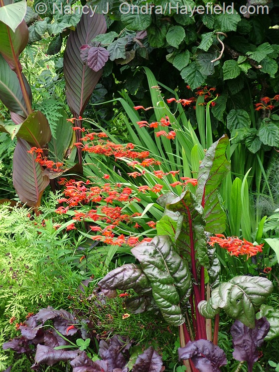 Crocosmia 'Emberglow' with Chard 'Prima Rosa', Beet 'Bull's Blood', Canna indica 'Purpurea', and Corylus avellana 'Purpurea' at Hayefield.com