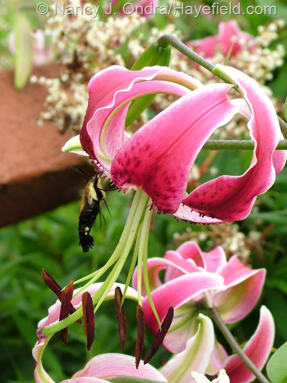 Lilium 'Black Beauty' at Hayefield.com