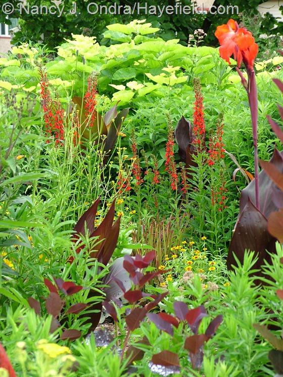 Lobelia cardinalis, Canna 'Australia', and Catalpa bignonioides 'Aurea' at Hayefield.com